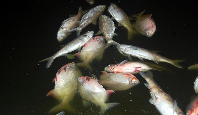 Cá chết hàng loạt ở hồ Linh Đàm với số lượng hàng nghìn con