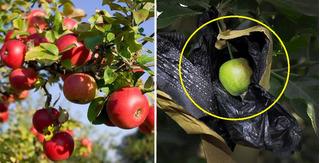 Bí mật rợn người 'ẩn' sau trái táo Trung Quốc tràn lan trên thị trường Việt