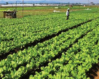 Nhộm nhoạm rau hữu cơ trên thị trường