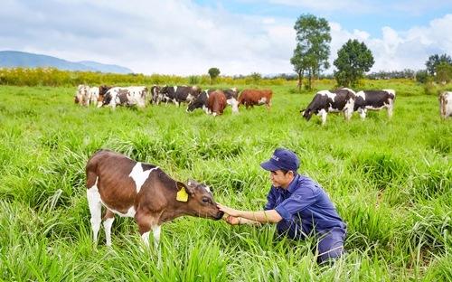 Vinamilk có trang trại bò sữa organic đầu tiên tại Việt Nam