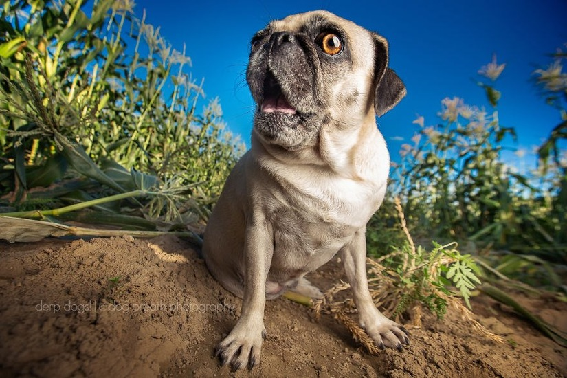 Chó mặt ngu