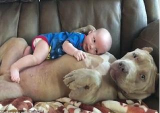 Clip chú chó Bull khổng lồ dịu dàng ôm em bé hút nghìn like