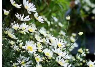 Nhiều vườn hoa tại Hà Nội đang đợi ngày 20/11 để 'bung lụa'