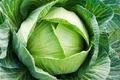 Bài thuốc trị đau dạ dày cực đơn giản từ cải bắp