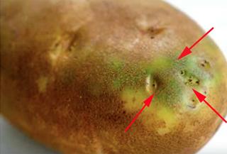 Nếu thấy khoai tây mọc mầm, hãy vứt chúng vào sọt rác