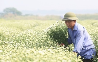 Cúc họa mi được giá, nông dân Nhật Tân bỏ túi hàng trăm triệu đồng
