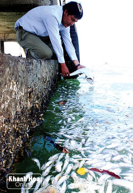 cá chết hàng loạt do tảo đỏ