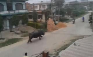 Tê giác khổng lồ điên cuồng rượt đuổi người giữa phố phường