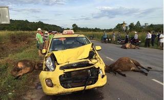 Tai nạn hi hữu giữa taxi và... 3 con bò ngay gần Cảng Hàng không