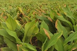 Làm giàu không khó với nghề trồng và sản xuất tinh bột nghệ