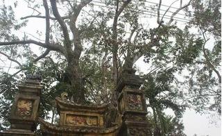 Lộ danh tính đại gia Bắc Ninh mua cây sưa 200 năm tuổi với giá 24,5 tỷ đồng