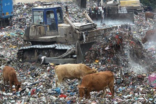 thực phẩm trung quốc bò ăn rác
