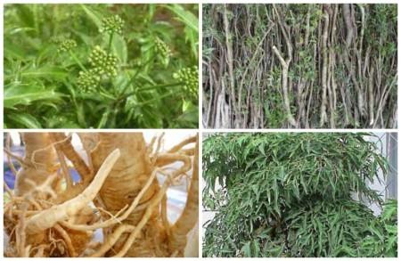 Cách chữa bệnh gout bằng cây đinh lăng nên chọn phần rễ và thân sắc uống, lá chỉ dùng để đắp