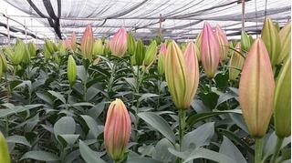 Hoa ly nở sớm, người dân Tây Tựu ngậm ngùi bán giá 5.000 đồng/cành