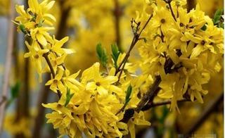 Đào đông, mai Mỹ - loài hoa lạ vượt nửa vòng trái đất về Việt Nam