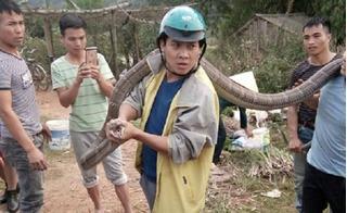 Phú Thọ: Người đàn ông tay không bắt rắn hổ mang chúa dài 5m bò trên đường