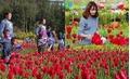 Chiêm ngưỡng cánh đồng hoa tulip đẹp như tranh ở Lào Cai
