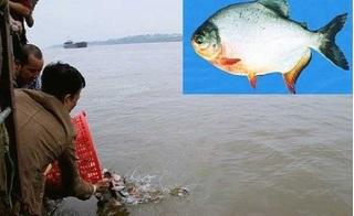 Vụ phóng sinh 10 tấn cá ra sông Hồng: Nhà chùa không mua cá chim trắng