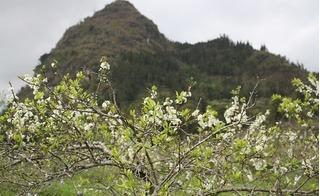 Ngắm vẻ đẹp tinh khôi của hoa mận trên cao nguyên trắng Bắc Hà