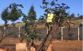 Cây hồng cổ đẹp nhất Sa Pa giá cả trăm triệu đồng bị đào trộm trong đêm