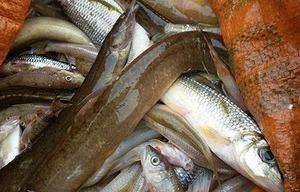 Thanh Hoá: Cá lại chết hàng loạt trắng cả khúc sông dài 10km