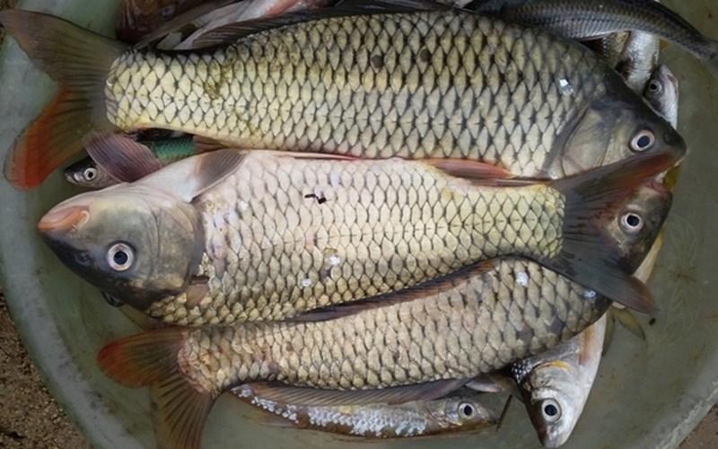 cá chết hàng loạt ở sông Âm 3