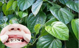 Chỉ một nắm lá trầu không theo cách này, mẹ không bao giờ lo vấn đề răng miệng ở trẻ