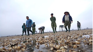 Hé lộ nguyên nhân ngao chết hàng loạt ở Hải Lộc Thanh Hóa: Là do… khách quan