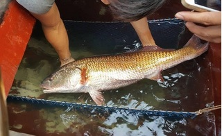 Nghệ An: Bắt được cá sủ vàng 8kg, được trả giá cả trăm triệu đồng chưa bán