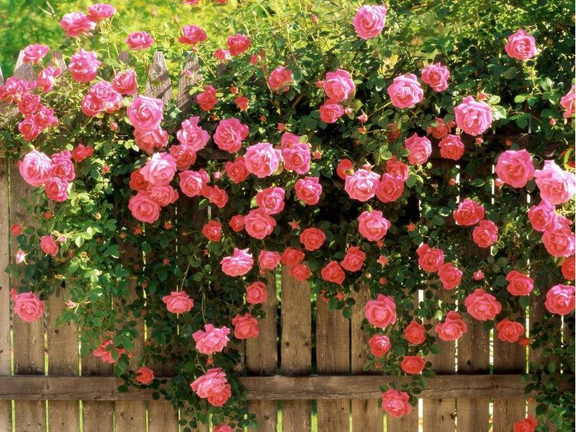 Lễ hội hoa hồng Bulgaria 6