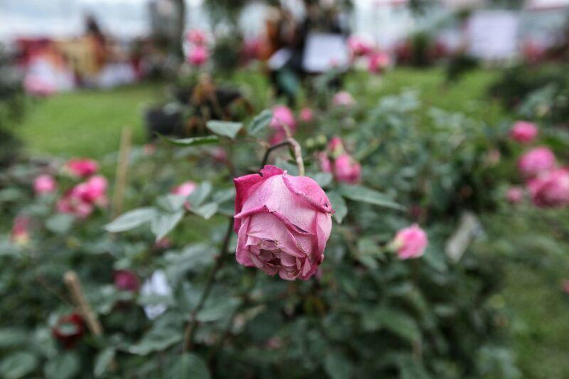 Lễ hội hoa hồng Bulgaria 19
