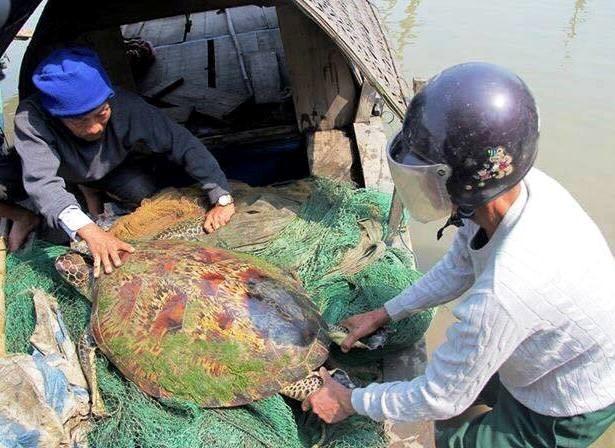 bắt được rùa khủng nặng 50kg