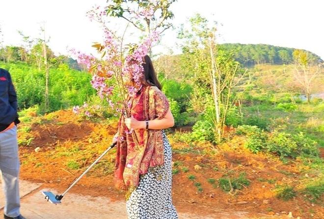 bẻ hoa mai anh đào ở Đà lạt