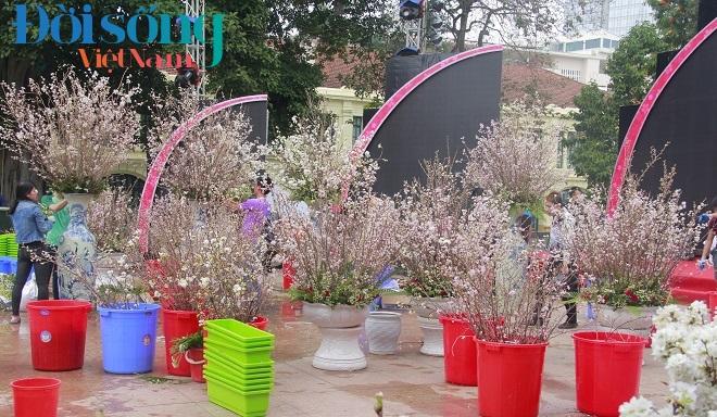 Lễ hội hoa anh đào Hà Nội 3