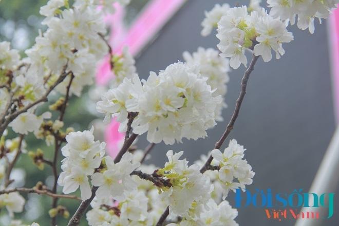 Lễ hội hoa anh đào Hà Nội 15
