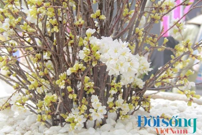 Lễ hội hoa anh đào Hà Nội 14