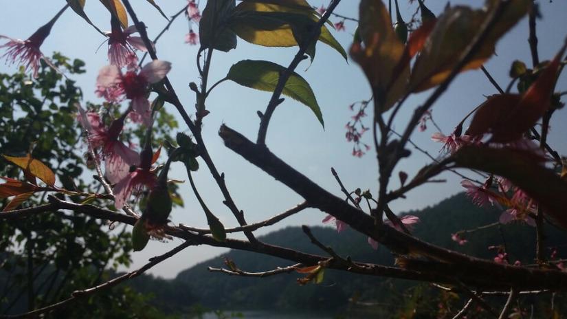 bẻ hoa anh đào chụp ảnh 4
