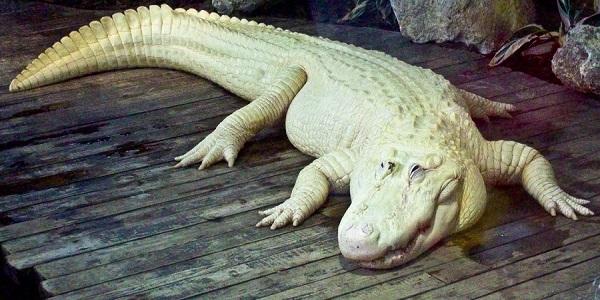 cá sấu bạch tạng