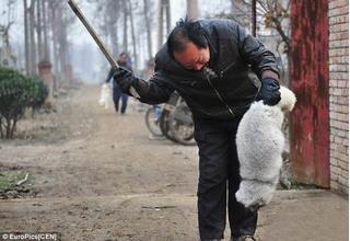 Những con cáo phải chịu cảnh lột da sống thảm thương thế này để chị em có áo lông thú diện