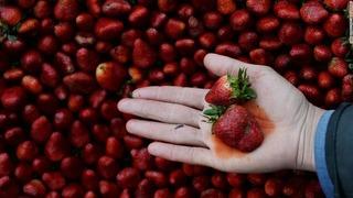 Mỹ cảnh báo dâu tây là trái cây chứa nhiều thuốc trừ sâu nhất