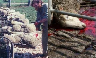 Quy trình sản xuất len tàn bạo: Cắt thịt quanh hậu môn cừu kích lông nhanh dài