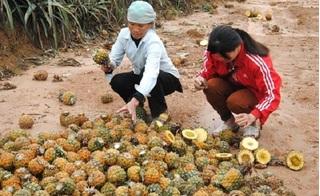 Lào Cai: Hàng nghìn ha dứa bị thối nhũn từ bên trong, người nông dân khóc ròng