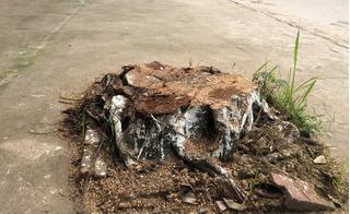 Cả trăm cây xanh bị chặt hạ sau đợt ra quân