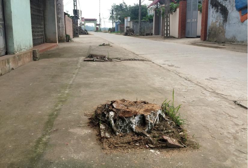 Chặt cây xanh vỉa hè Hà Nội 5