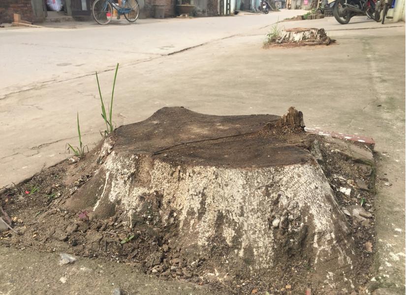 Chặt cây xanh vỉa hè Hà Nội 8