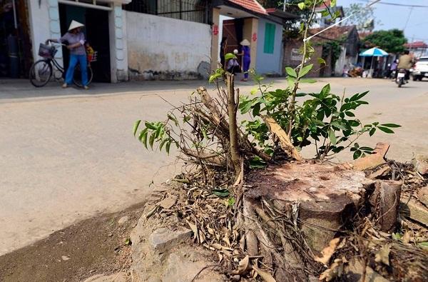 chặt cây xanh ở Thạch Thất