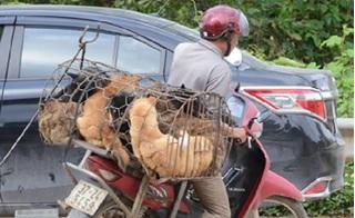 Nghệ An: 53 người bị chó dại cắn, 1 tử vong, cả làng hoảng loạn