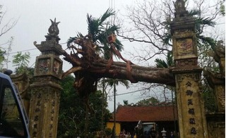 Bắc Ninh: Chặt hạ cây sưa 200 tuổi từng được trả giá 50 tỷ đồng