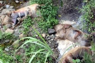 Xác lợn chết phân hủy nằm la liệt cạnh bờ sông