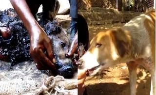 Không ai ngờ chú chó bị dầu cháy xém nửa người lại phục hồi tuyệt diệu như vậy!